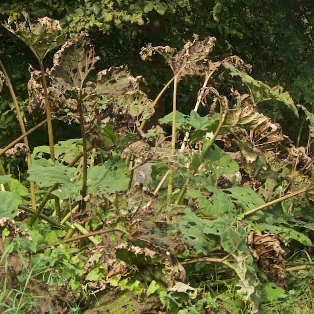 Foto/billede af Rød hestehov (Petasites hybridus)