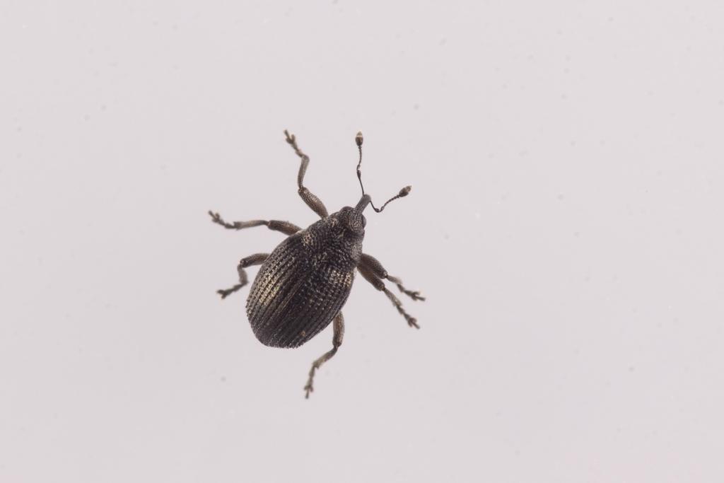 Foto/billede af Gyldenlaksnudebille (Ceutorhynchus contractus)