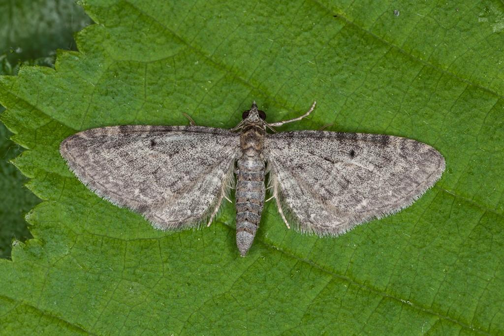 Foto/billede af Grumset Dværgmåler (Eupithecia subfuscata)
