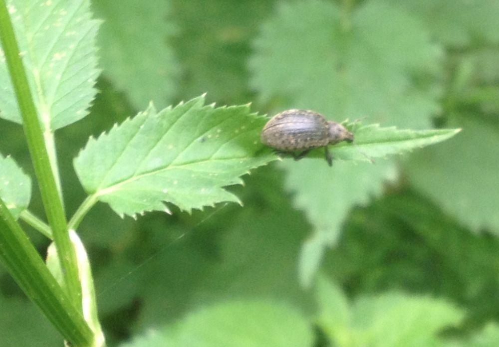 Foto/billede af Liophloeus tessulatus (Liophloeus tessulatus)