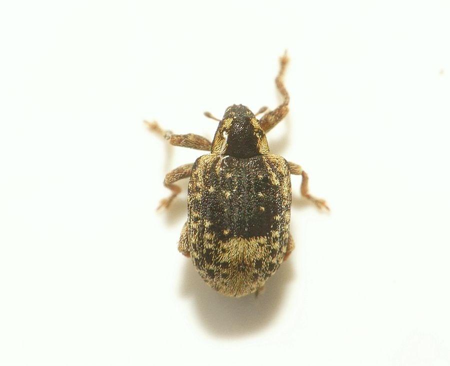 Foto/billede af Askesnudebille (Stereonychus fraxini)