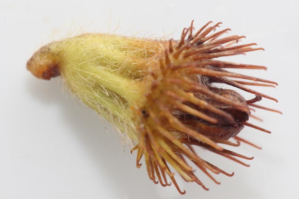 Foto/billede af Almindelig Agermåne (Agrimonia eupatoria)