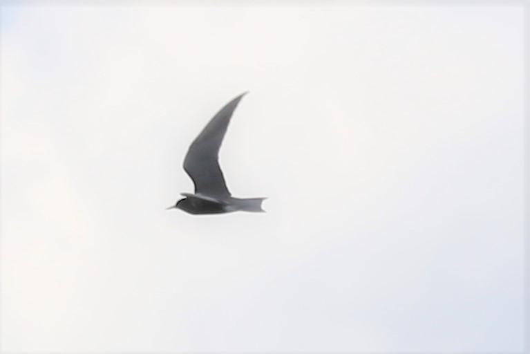 Foto/billede af Sortterne (Chlidonias niger)