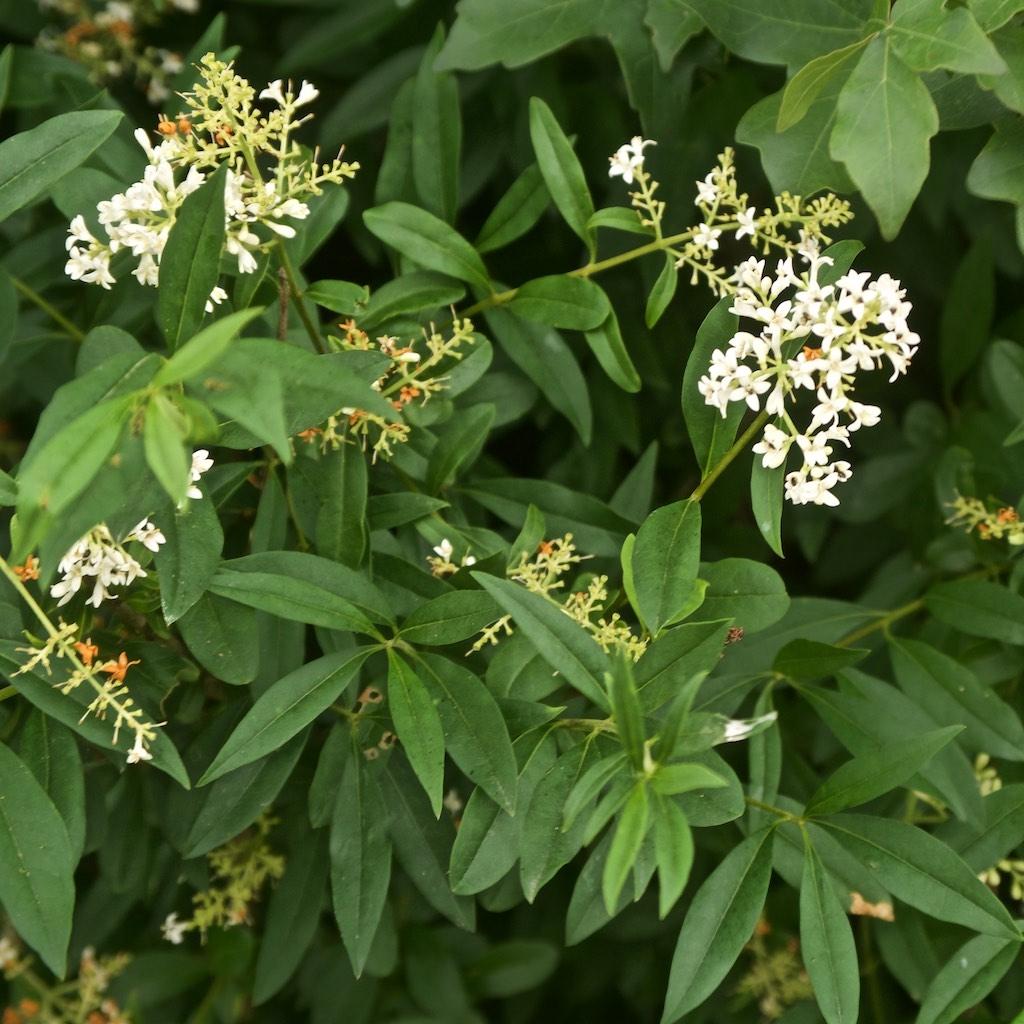 Foto/billede af Liguster (Ligustrum vulgare)