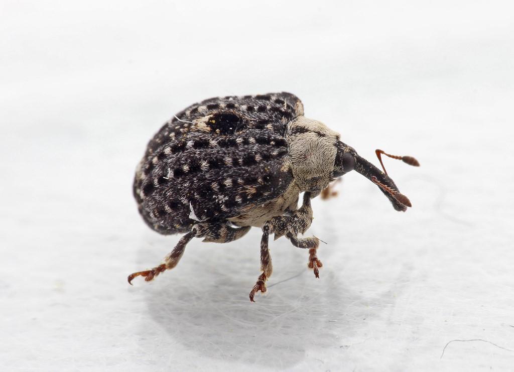 Foto/billede af Brunrodsnudebille (Cionus scrophulariae)