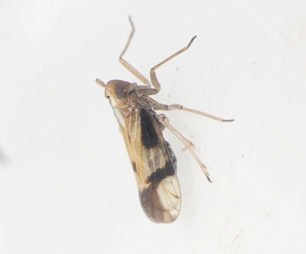 Euides basilinea (Euides basilinea)
