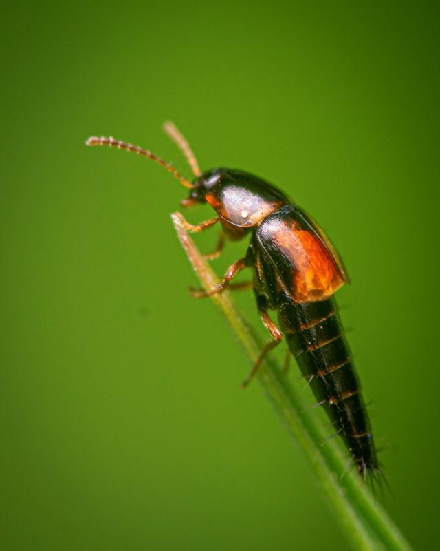 Foto/billede af Sortplettet Agerrovbille (Tachyporus hypnorum)