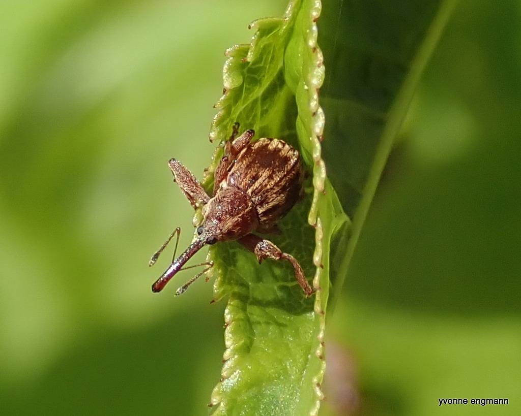 Kirsebærsnudebille (Furcipus rectirostris)