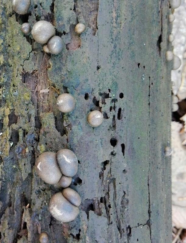 Foto/billede af Almindelig Rødært (Lycogala epidendrum)