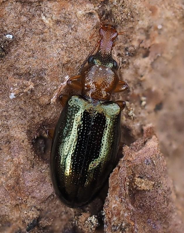 Foto/billede af Salpingus ruficollis (Salpingus ruficollis)