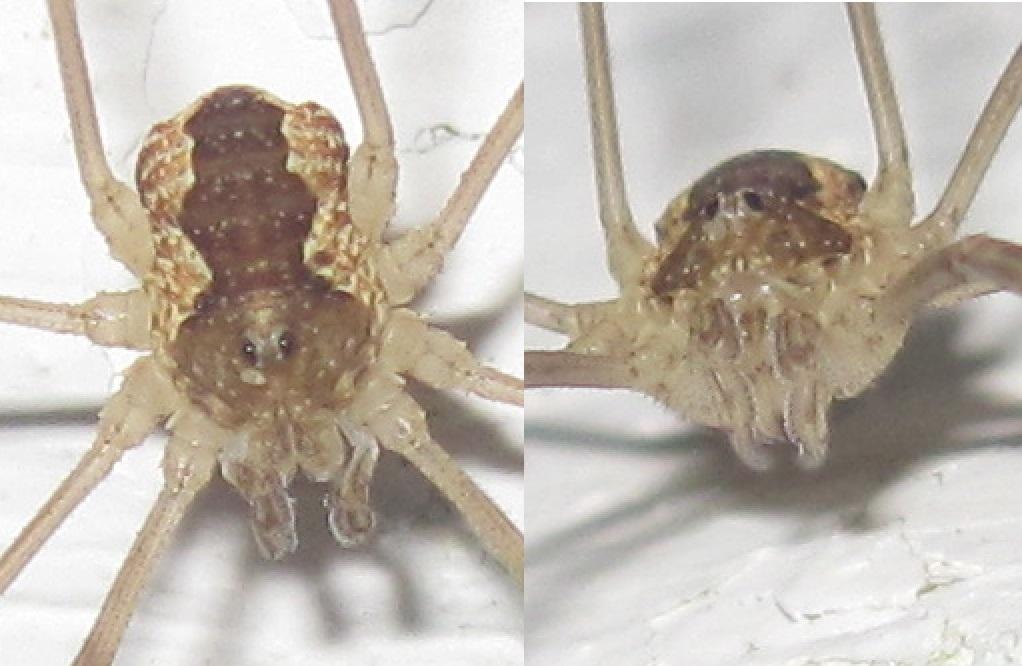 Foto/billede af Stor skovmejer (Mitopus morio)