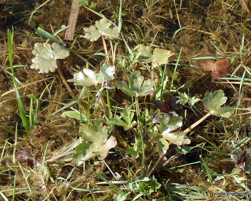 Tigger-Ranunkel (Ranunculus sceleratus)