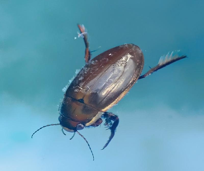 Sortbuget Vandkalv (Dytiscus semisulcatus)