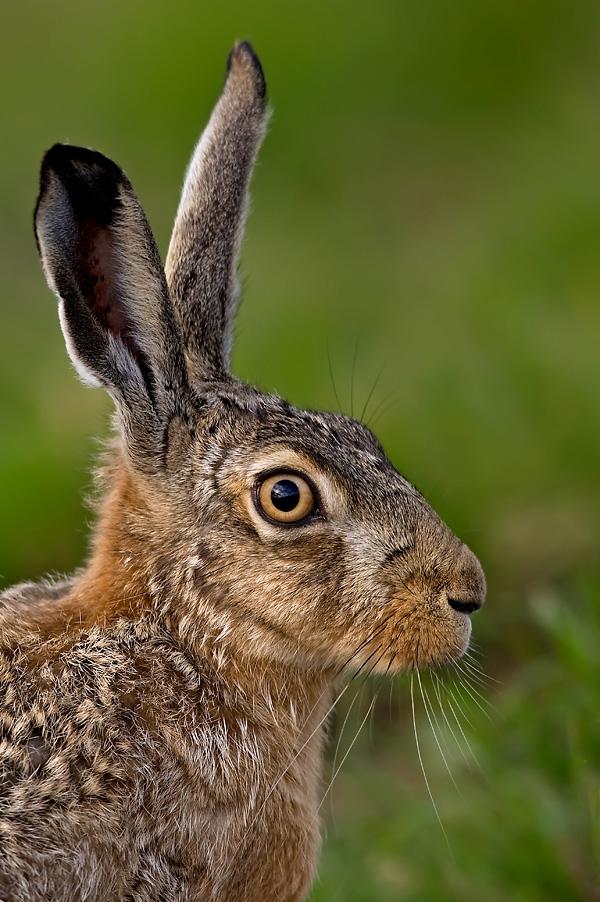 Foto/billede af Hare (Lepus europaeus)