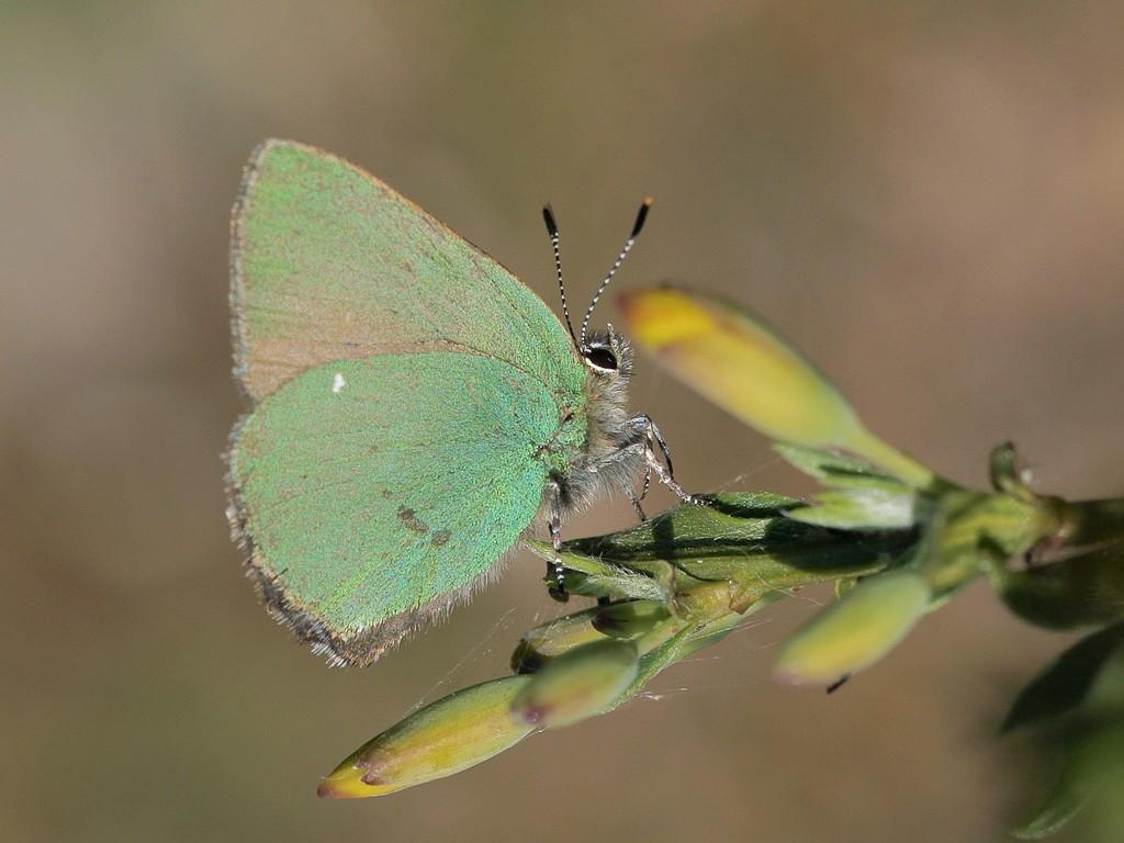 Grøn Busksommerfugl (Callophrys rubi)