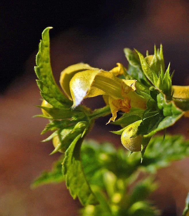 Almindelig Guldnælde (Lamiastrum galeobdolon ssp. galeobdolon)