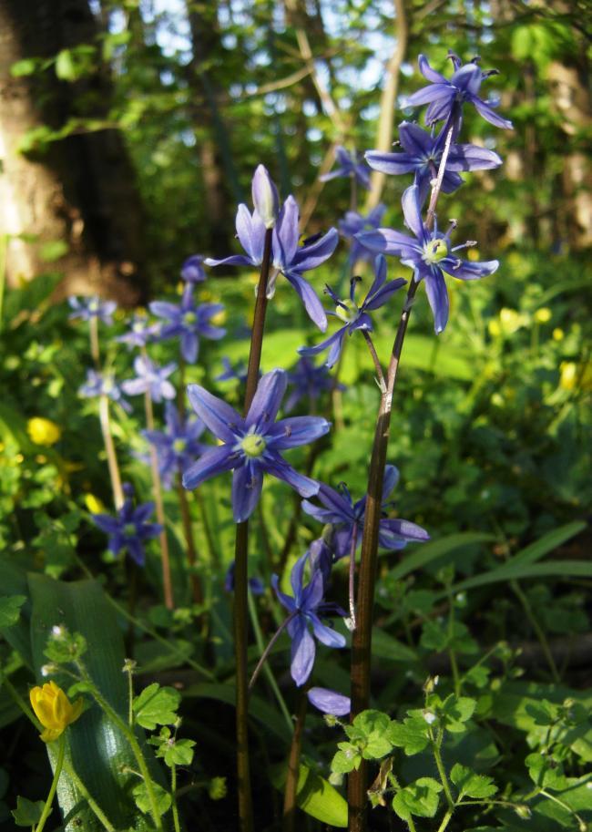 Himmelblå Skilla (Scilla amoena)
