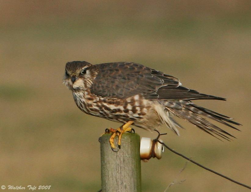 Foto/billede af Dværgfalk (Falco columbarius)
