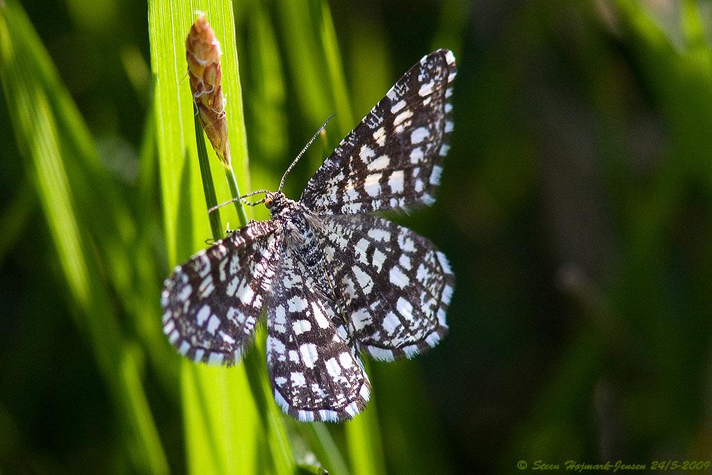Kløvermåler (Chiasmia clathrata)