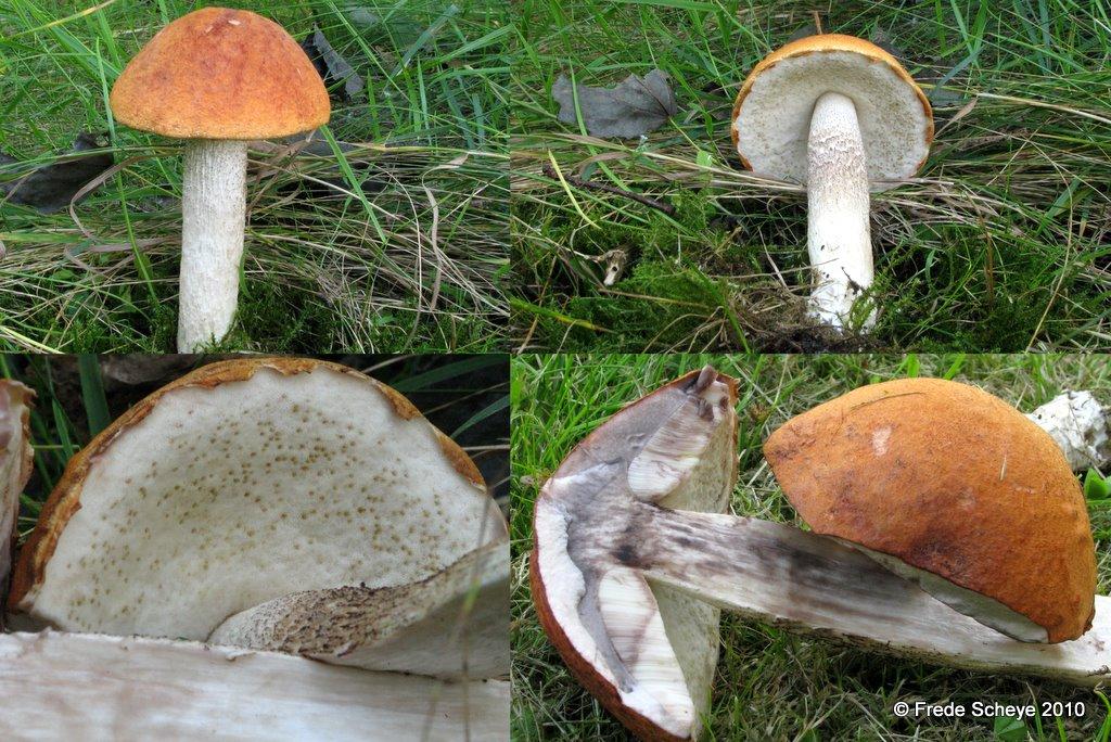 Foto/billede af Aspe-Skælrørhat (Leccinum albostipitatum)