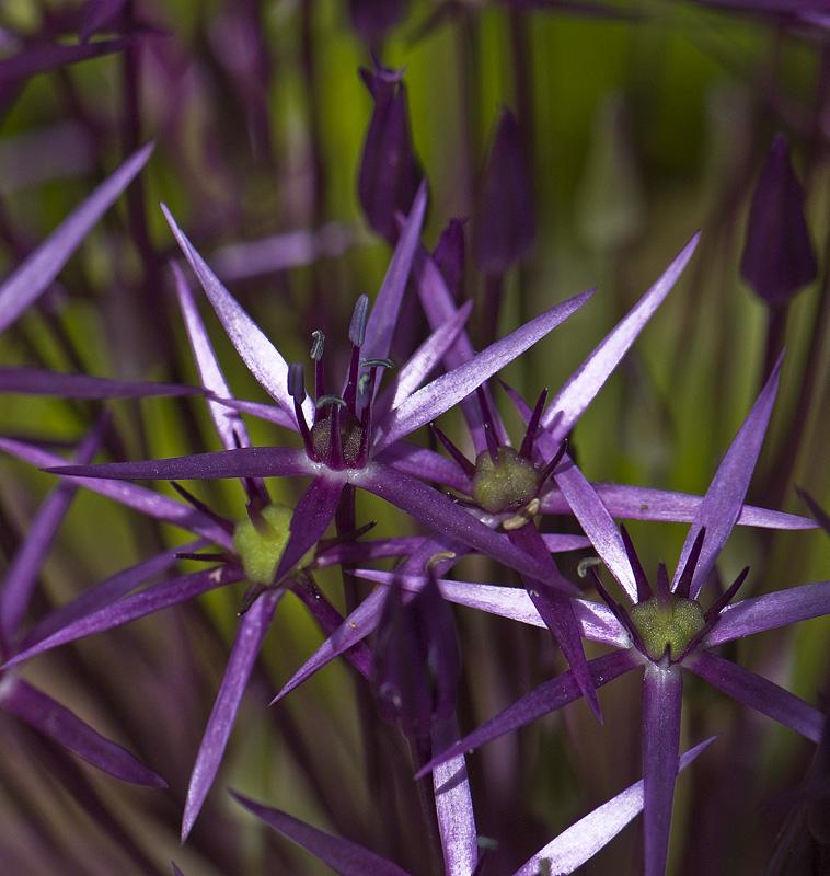 Orientalsk Prydløg (Allium christophii)