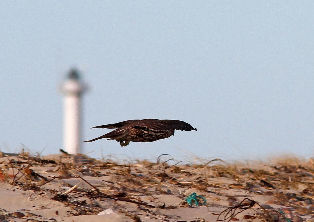 Jagtfalk (Falco rusticolus)