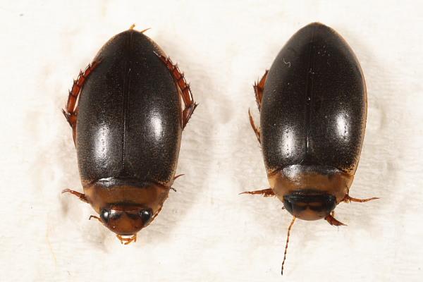 Rhantus exsoletus (Rhantus exsoletus)