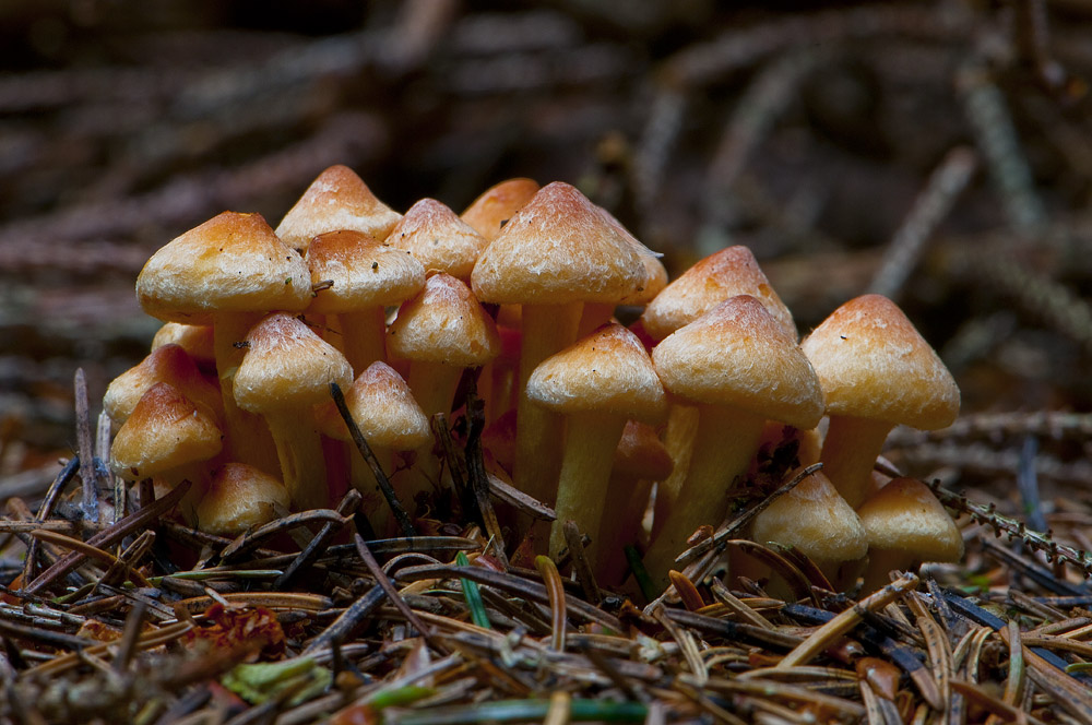 Knippe-Svovlhat (Hypholoma fasciculare)