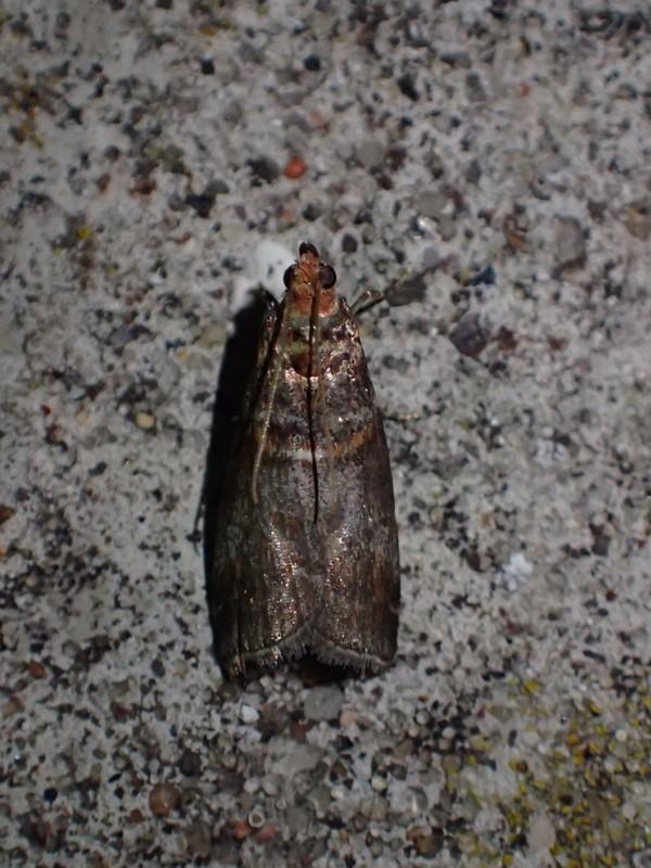 Rønnehalvmøl (Acrobasis advenella)