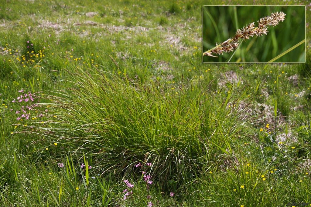 Top-Star (Carex paniculata)