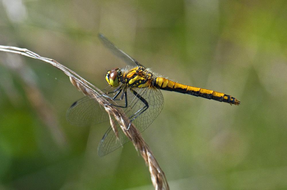 Sort Hedelibel (Sympetrum danae)