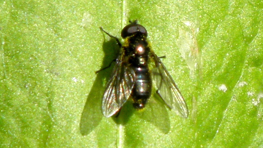 Sort Urtesvirreflue (Cheilosia variabilis)