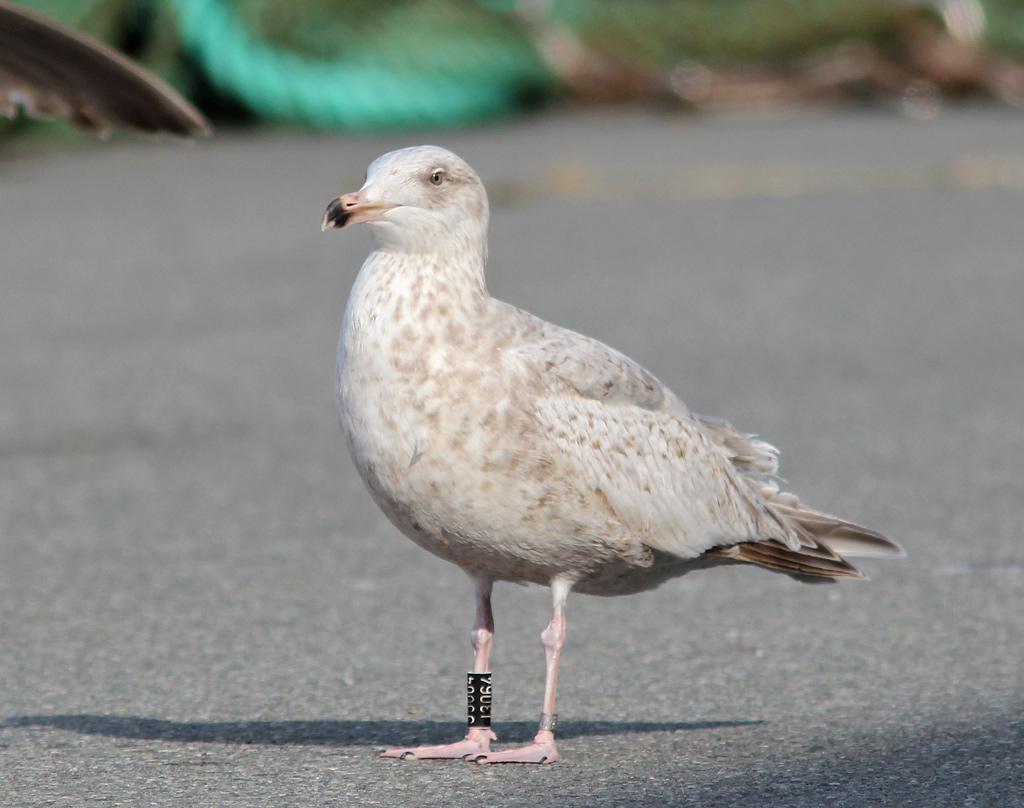 Sølvmåge x Gråmåge (hybrid)