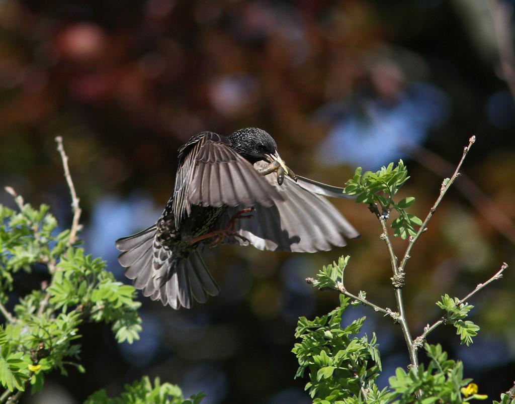 Foto/billede af Stær (Sturnus vulgaris)