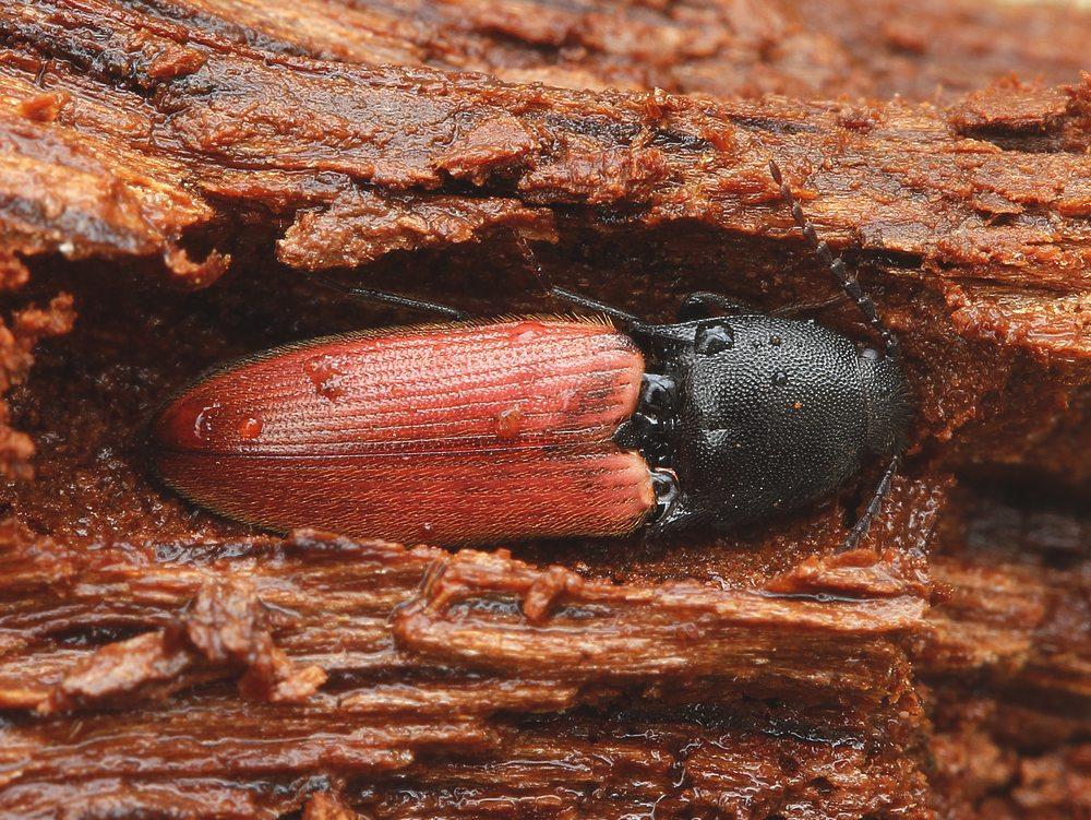 Cardinal-Skovsmælder (Ampedus cardinalis)