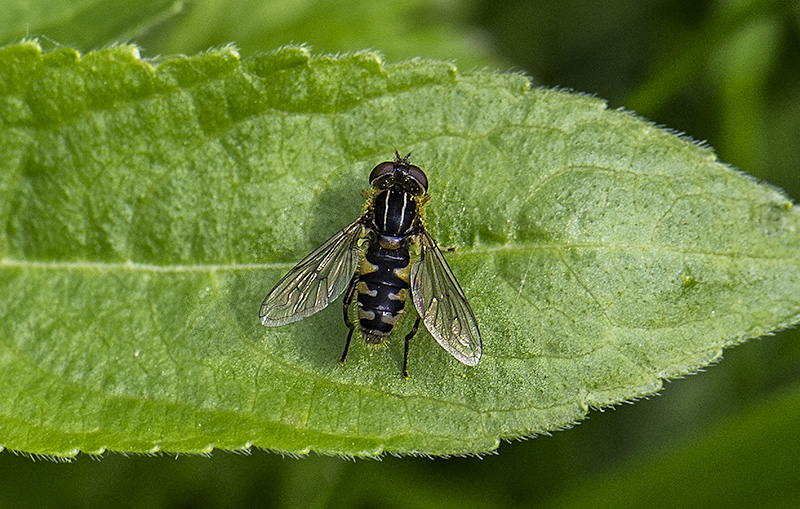 Snude-Damsvirreflue (Anasimyia lineata)