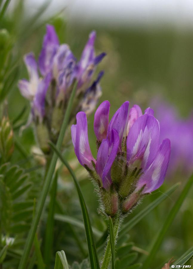 Foto/billede af Dansk Astragel (Astragalus danicus)