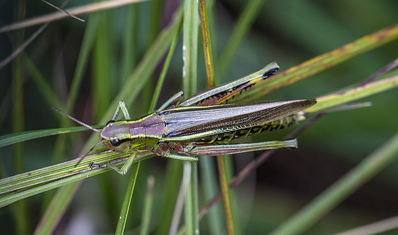 Sumpgræshoppe (Mecostethus grossus)