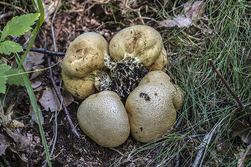 Almindelig Bruskbold (Scleroderma citrinum)