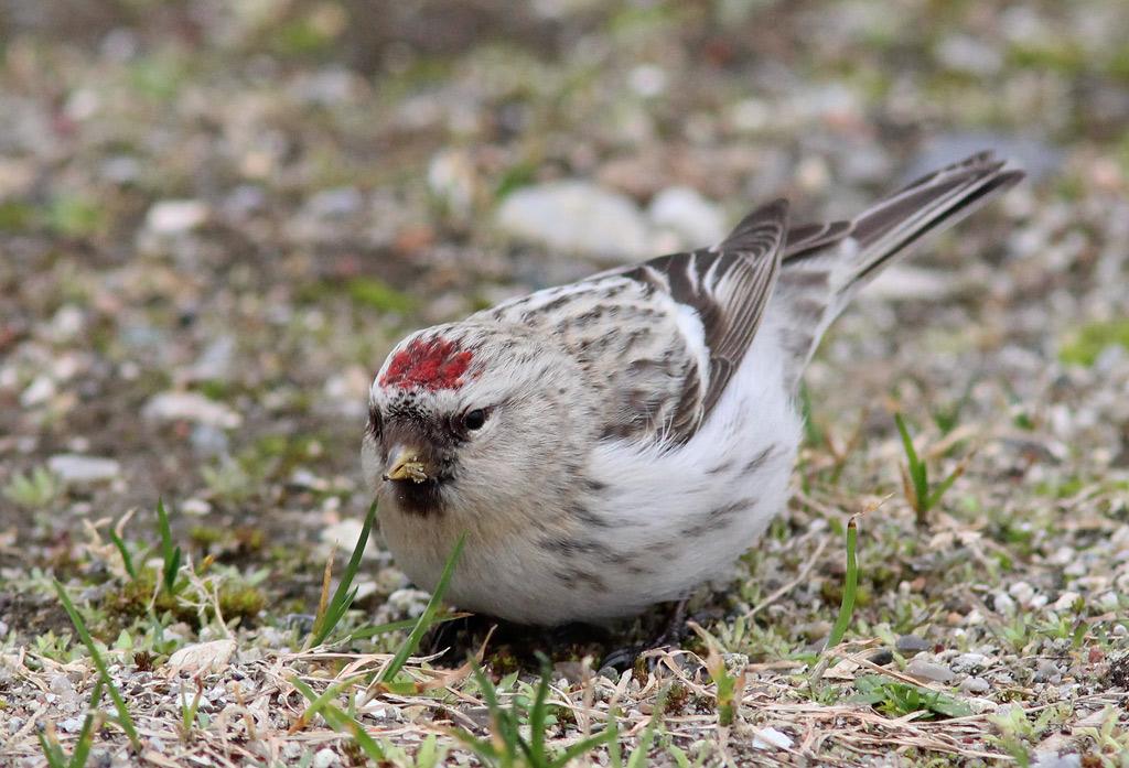 Foto/billede af Hvidsisken (Carduelis hornemanni)