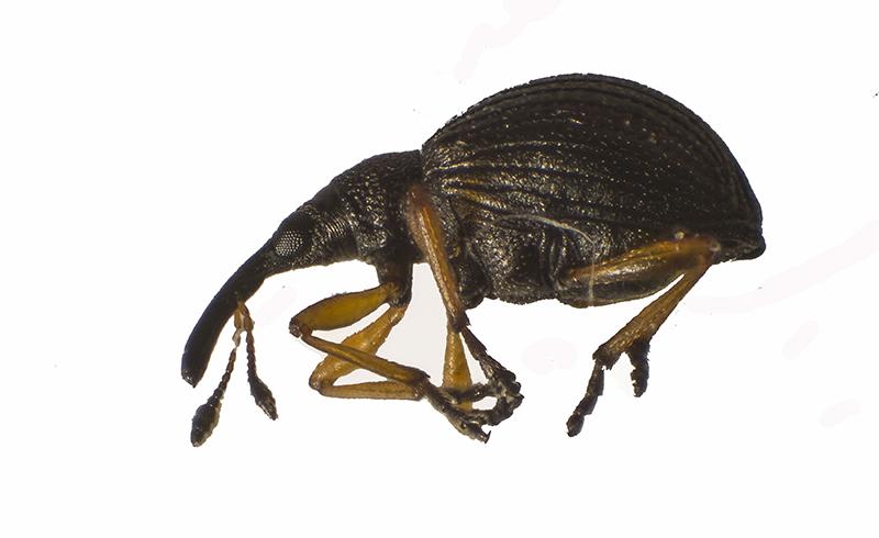 Apion fulvipes (Apion fulvipes)