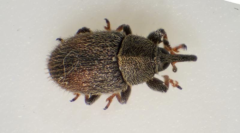 Mecinus pascuorum (Mecinus pascuorum)