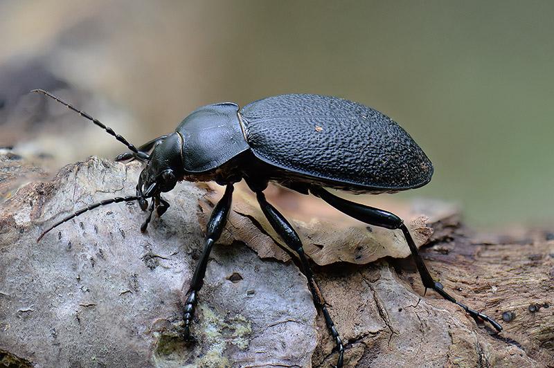 Foto/billede af Læderløber (Carabus coriaceus)