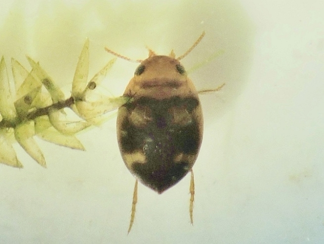Hydrovatus cuspidatus (Hydrovatus cuspidatus)