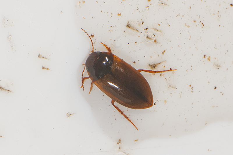 Laccornis oblongus (Laccornis oblongus)