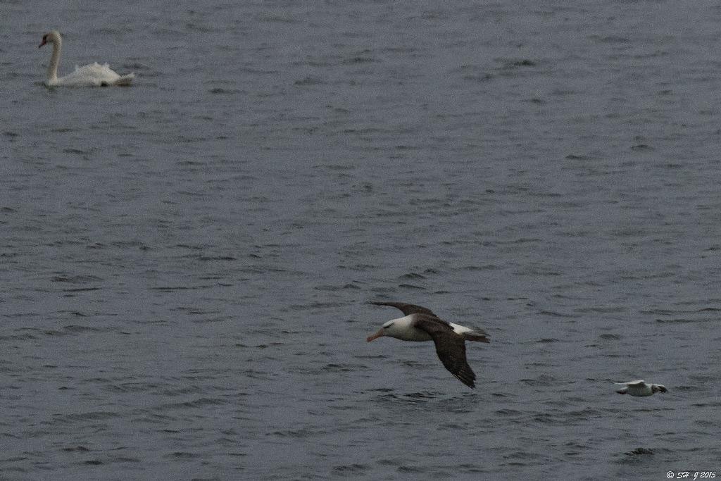 Foto/billede af Sortbrynet albatros (Thalassarche melanophris)