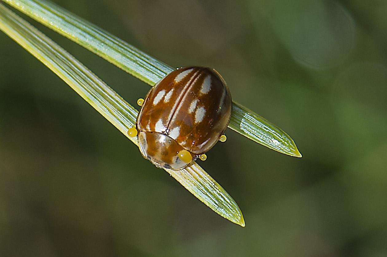Stribet Mariehøne (Myzia oblongoguttata)