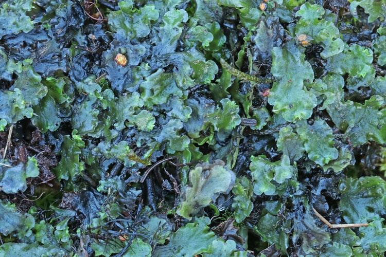 Foto/billede af Enbo Ribbeløv (Pellia epiphylla)