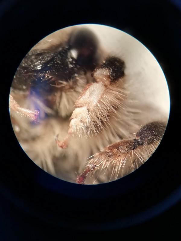 Foto/billede af Ærtebladskærerbi (Megachile circumcincta)
