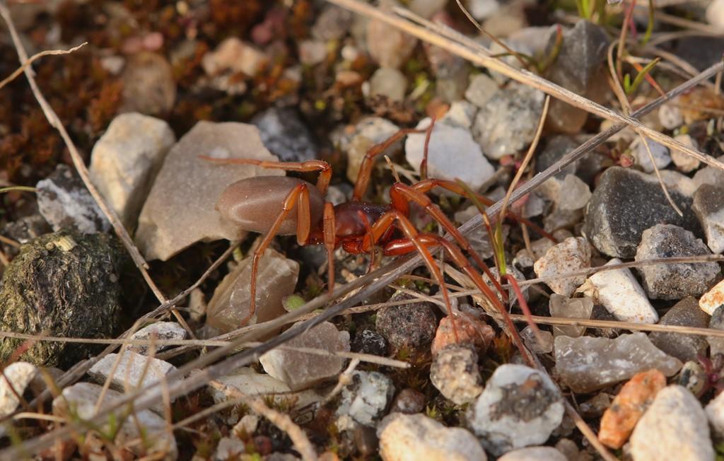 Foto/billede af Rubinrød seksøjespinder (Harpactea rubicunda)
